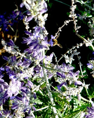 A honey bee is busy gathering nectar from a dainty lavender-blue floret of a Russian Sage. Airy spiky blooms appear on the terminus of stiff, woody, long and upright stems that bear deeply incised grey-green leaves. Russian sage blooms last from late summer into October.