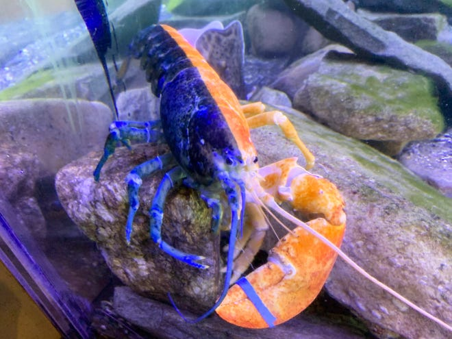 This rare split-color lobster was recently put on display at the Seacoast Science Center in Rye. Blue on one side and orange on the other, this lobster is estimated to be 1 in 50 million.