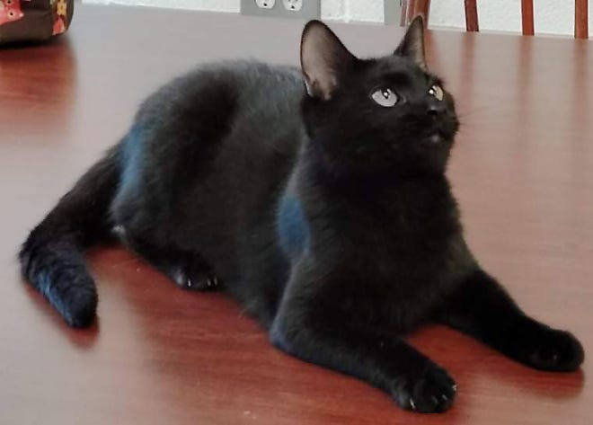 Jerry Springer is the Humane Society Pet Rescue and Adoption Center's Pet of the Week for Oct. 11.