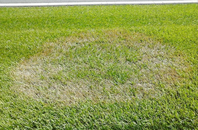 While warm-seasons grasses can turn brown during cooler months, they aren't dead, just dormant.