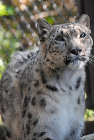 Baya, a snow leopard at the Great Plains Zoo, died on Thursday evening.