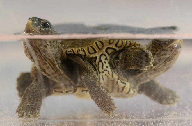 Operating independently, one side of a diamondback terrapin comes up for air in a small holding tank at the Birdsey Cape Wildlife Center in Cummaquid where the 2-week-old reptile is being treated.