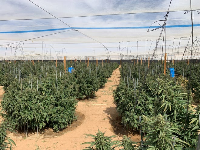 An illegal marijuana grow at an unidentified location which was raided during Operation Hammer Strike.