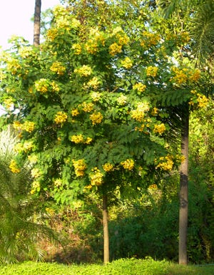 Scrambled egg tree, or Senna surattensis, is a beautiful addition to tropical landscapes for bright color. Use it as an accent plant, in the back of loose borders, as a patio tree and in containers. It is the larval host for sulphur-type butterflies whose caterpillars feast on the leaves.