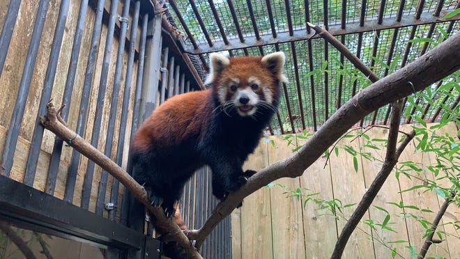 Ming Yue, a red panda at the Utica Zoo, died unexpectedly Monday, Oct. 11, 2021, zoo officials reported.