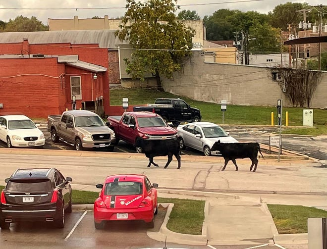 Two steers make their way down a street in Blue Springs Wednesday afternoon. In all, three got loose – one recaptured and two put down by police.