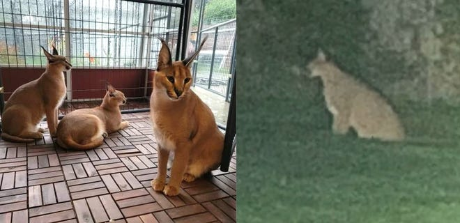 On Wednesday, October 13, 2021, at approximately 6:30 a.m., the Royal Oak Police Department responded to the 700 Block of E. Lasalle regarding several large African Caracal cats that escaped their enclosure. This is at least the third time these cats have escaped. Two cats were found in the unsecured enclosure. Officers located a third in the area and it was returned home with help of the owner. At this time, one of the animals is still loose. These cats are nocturnal, and it is likely the animal is bedded down somewhere in the area. If anyone observes the animal, do not approach it, and call the Royal Oak Police Department immediately.