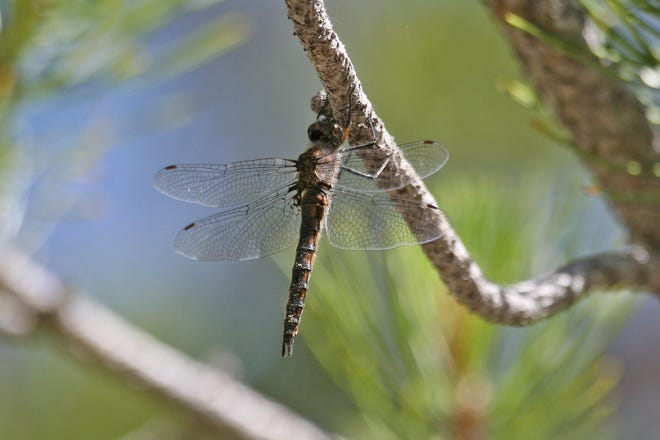 A Spiny Baskettail dragonfly was spotted earlier this year in Truckee. The species had not been seen in the area in more than 100 years.