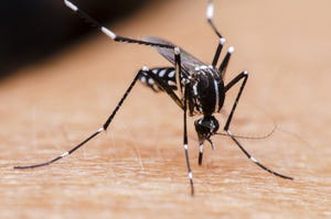 An Aedes mosquito, with its distinct white strips, feeding on human blood.