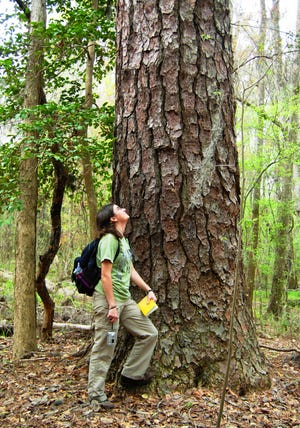 Former student Chanda Cooper near a loblolly pine in the Congaree National Park.