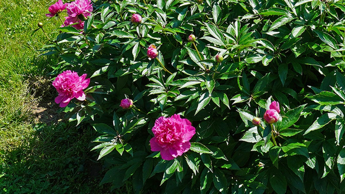 Gardening: Clean up peonies now for maximum color next spring