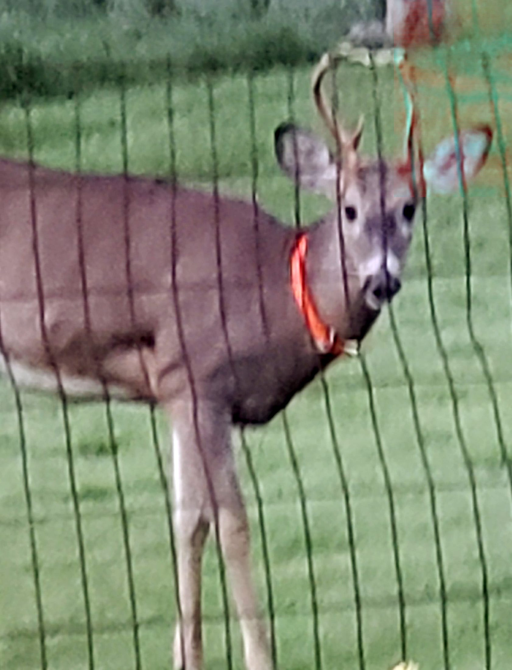 'I thought I was going to die': Woman attacked by deer in front yard, saved by son