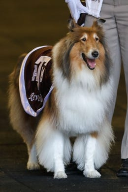 Sep 8, 2018; College Station, TX, USA; Texas A&M Aggies mascot Reveille IX before the start of the gam against the Clemson Tigers at Kyle Field. Mandatory Credit: John Glaser-USA TODAY Sports