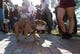 Oct 27, 2018; Starkville, MS, USA; Bully the Mississippi State Bulldogs live mascot arrives as the Bulldogs participate in Dawgwalk before the game with the Texas A&M Aggies at Davis Wade Stadium. Mandatory Credit: Vasha Hunt-USA TODAY Sports
